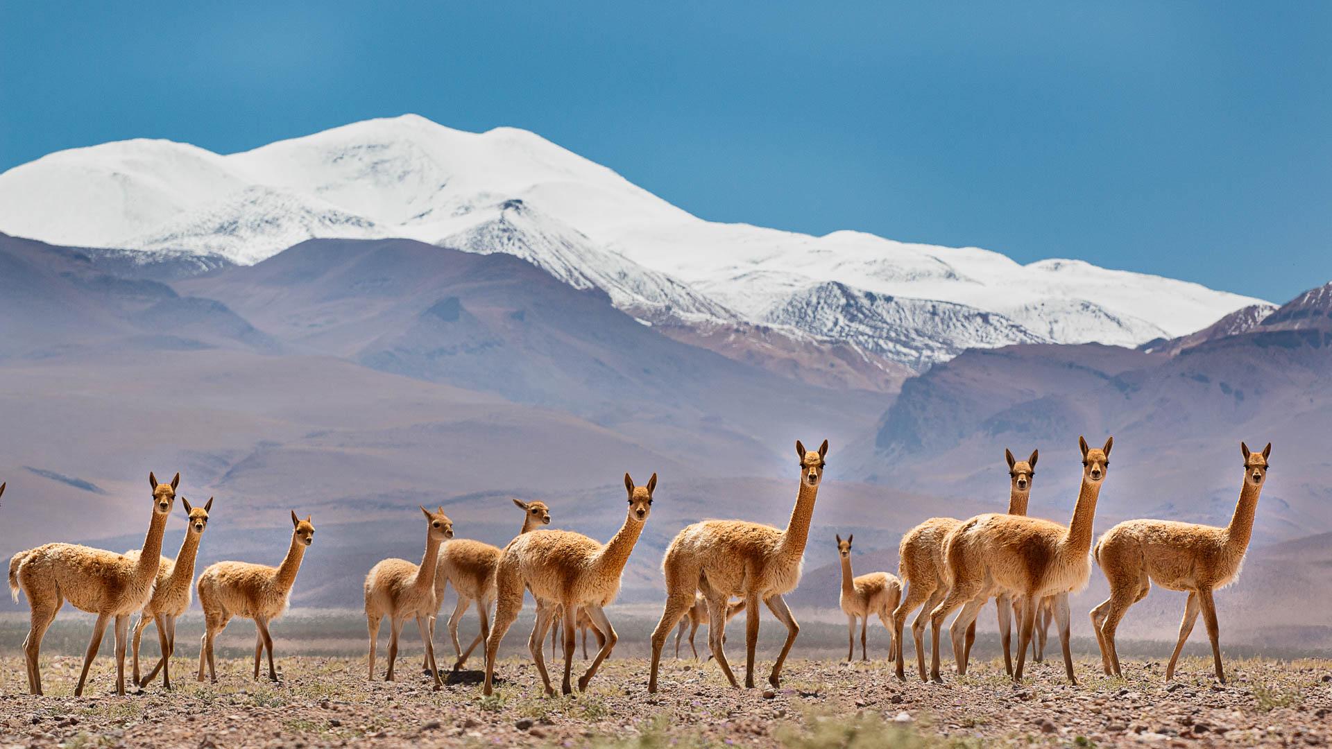 Un grupo de vicuñas posa con el Nevado de Quehuar como telón de fondo.