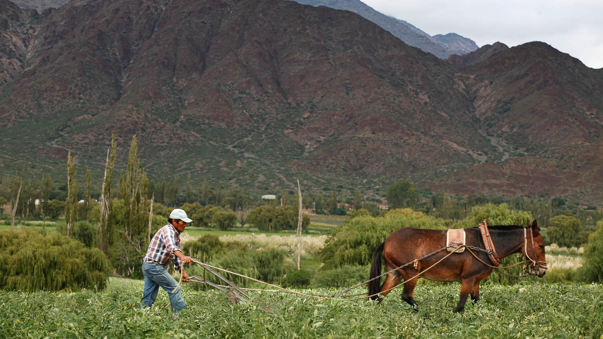 Un sacrificado campesino y su mula trabajan la tierra en el valle de Cachi Adentro.