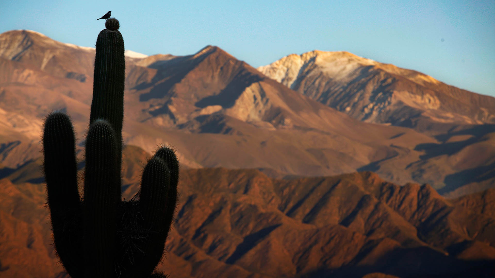 Un pájaro corona la punta de un cardón, ambos recortados sobre el Nevado de Cachi.